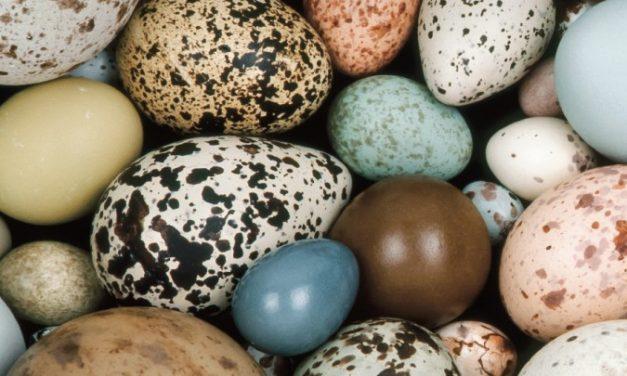 Shape of Bird Egg Indicates Flying Ability