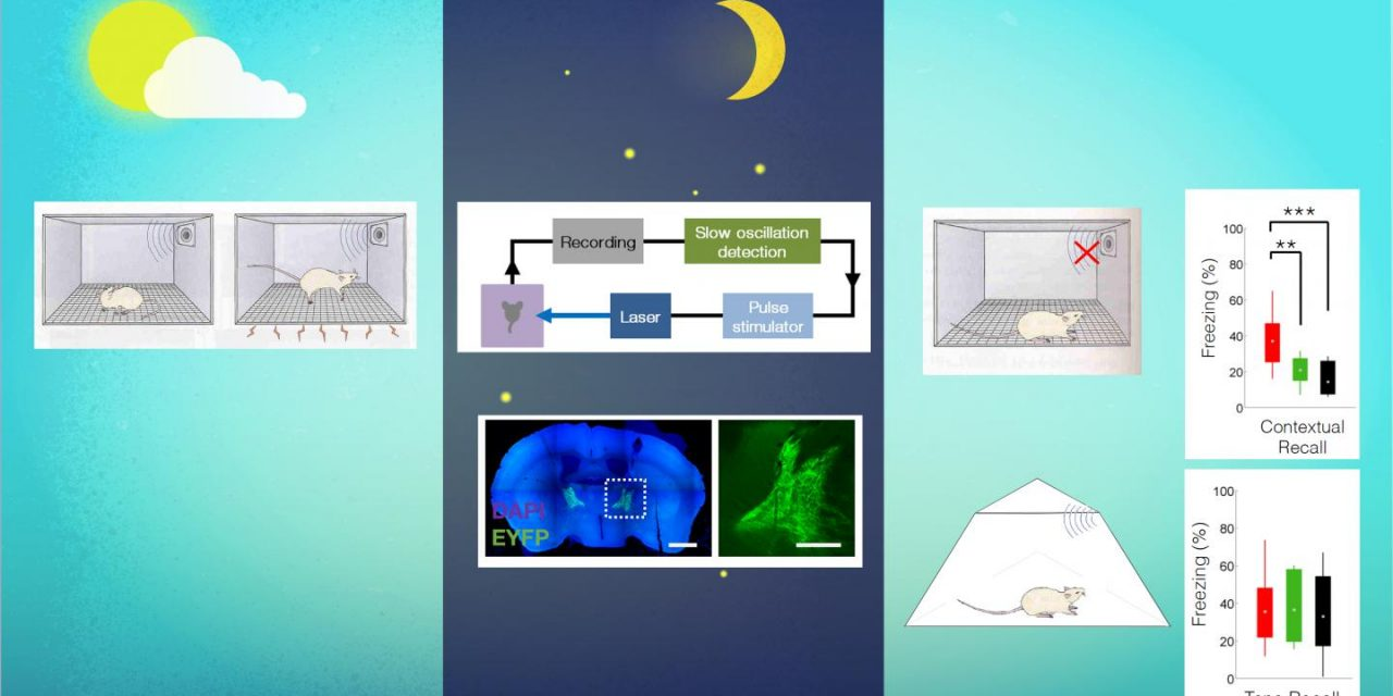 Triggering Specific Brain Waves During Sleep Enhances or Reduces Memorization