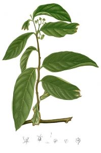 Salacia Plant