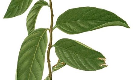 Salacia Extract Supplement Shown to Help Curb Appetite and Manage Blood Sugar