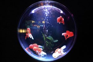 fish-bowl-goldfish