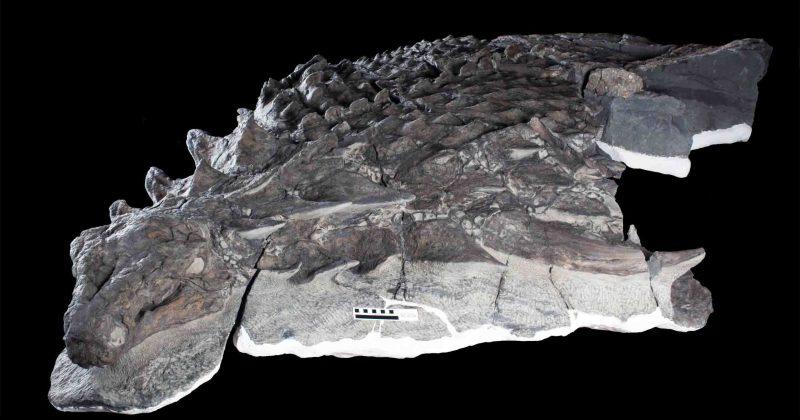 new found species of nodosaur calledBorealopelta Markmitchelli